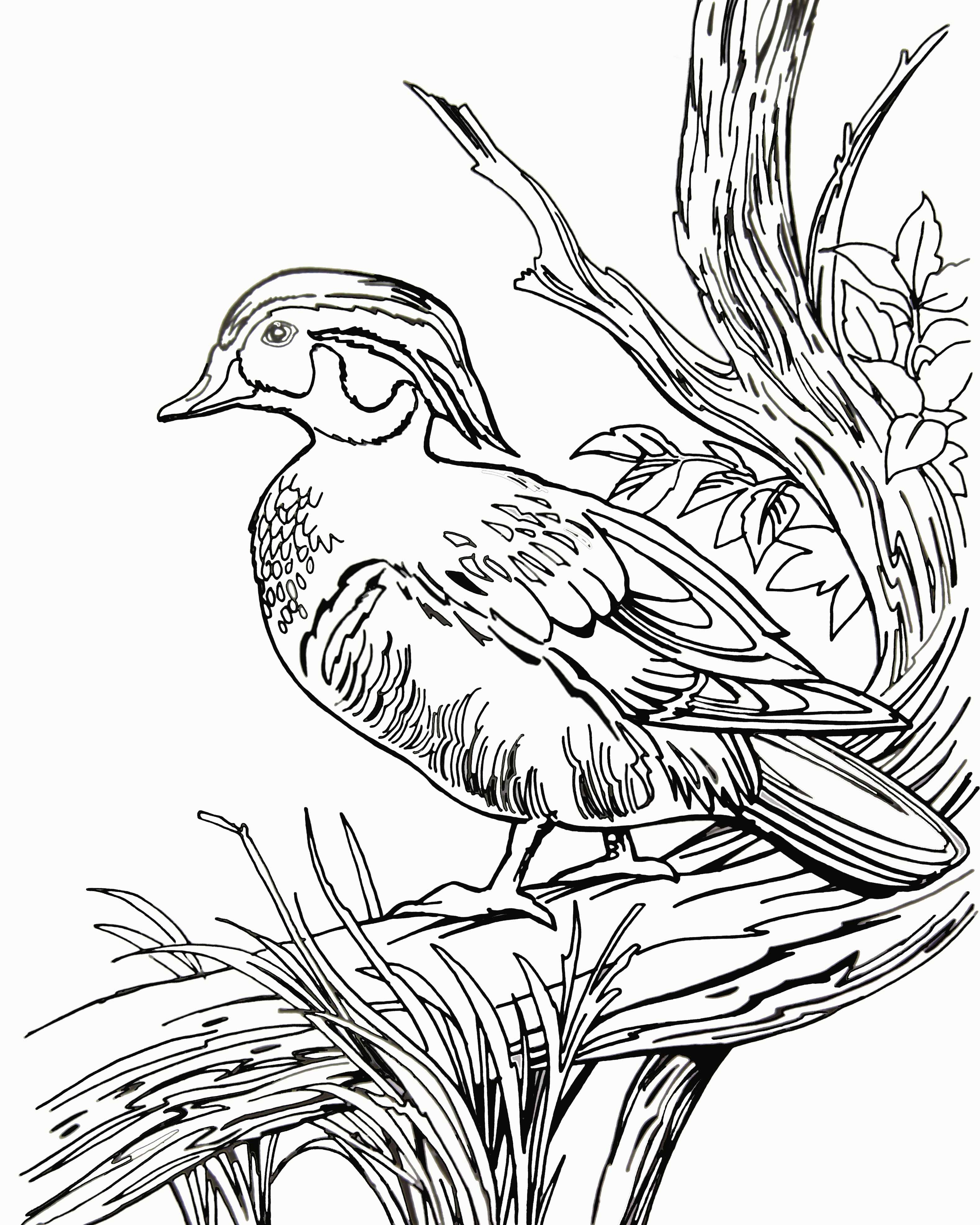 » Blog Archive » Coloring Wood Ducks